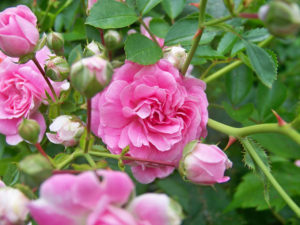 Pruning roses now will set them up well for a strong spring.