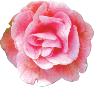 Proper rose care during the early winter can help produce beautiful looking roses for the spring and summer.